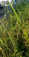 verde erba latina sarubbo